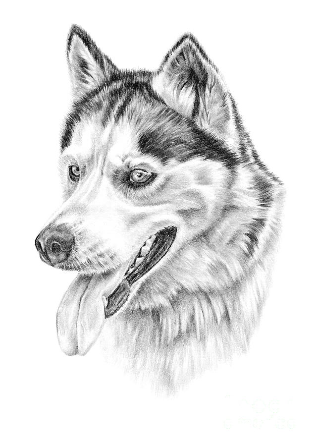 how to draw a siberian husky husky sketch paintings pinterest sketches and drawings husky a draw to how siberian