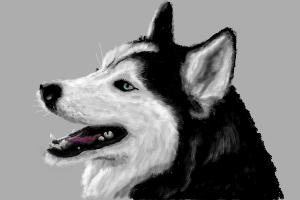 how to draw a siberian husky siberian husky drawing drawing by kate sumners husky to how draw siberian a