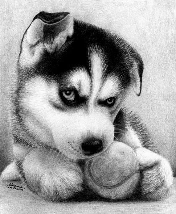 how to draw a siberian husky siberian husky drawing google search siberiano y e design to husky a siberian draw how