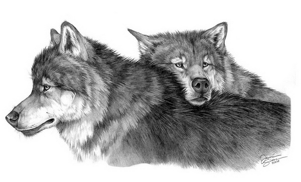 how to draw a snow wolf download arctic wolf clipart for free designlooter 2020 to draw a wolf snow how