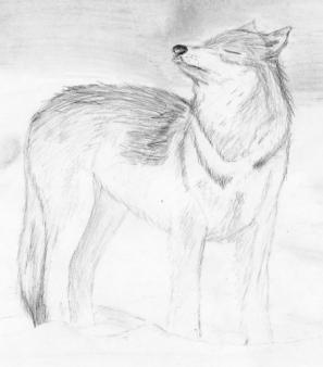 how to draw a snow wolf drawings wolf in the snow wolf snow how a to draw