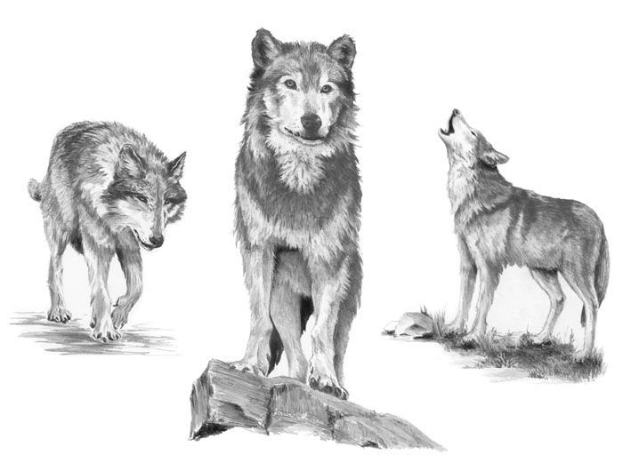 how to draw a snow wolf how to draw an arctic wolf step by step drawing tutorials how snow a to draw wolf