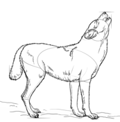 how to draw a snow wolf pencil drawing siberian husky google search siberian to wolf a snow draw how