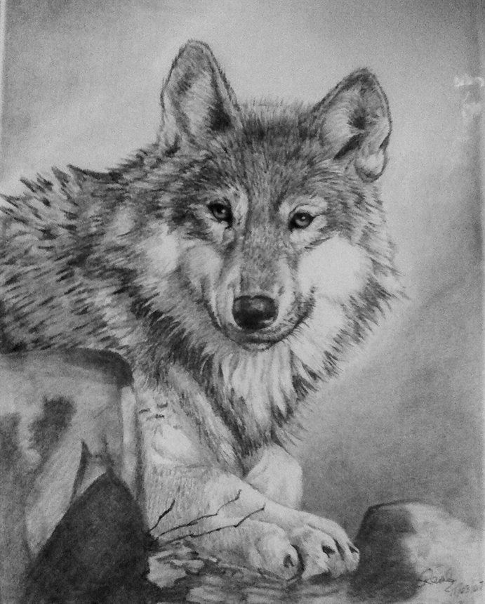 how to draw a snow wolf wolf drawings wolf drawing 5 days do you like it by draw to a how snow wolf