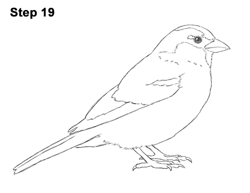 how to draw a sparrow step by step how to draw a song sparrow step by step bird drawings a step draw step sparrow how to by