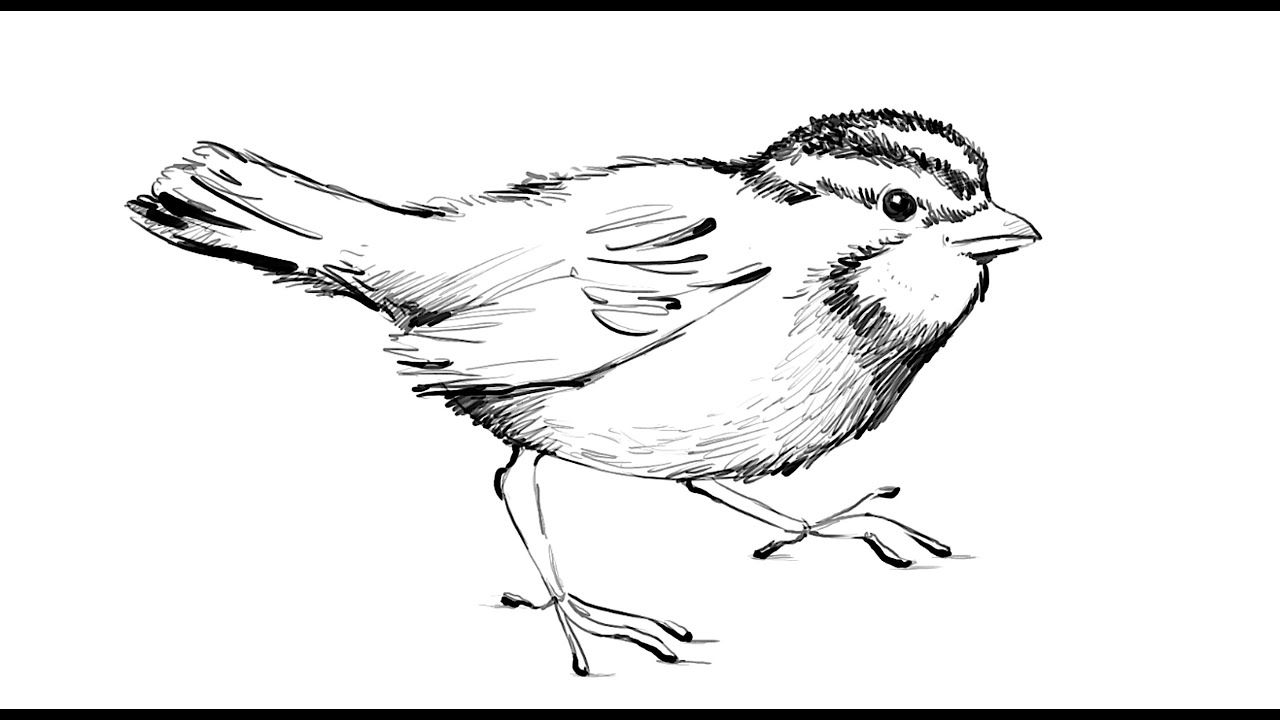 how to draw a sparrow step by step how to draw a sparrow youtube sparrow step how to by draw a step