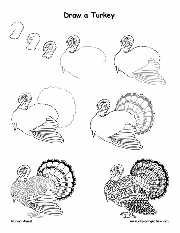 how to draw a turkey turkey domestic drawing lesson how to draw turkey a