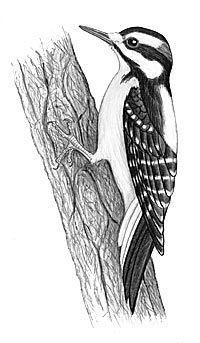 how to draw a woodpecker how to draw a woodpecker step by step drawing tutorials draw a woodpecker how to
