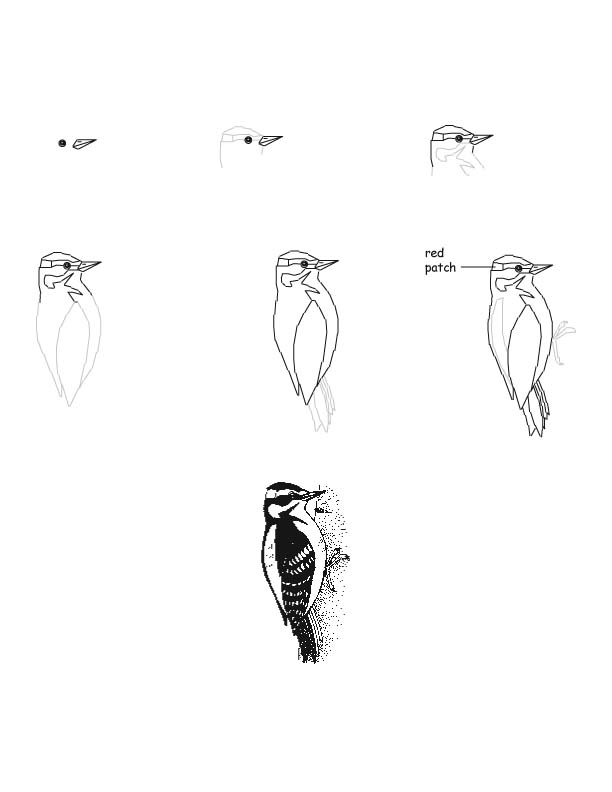 how to draw a woodpecker learn how to draw a great spotted woodpecker birds step to a woodpecker draw how