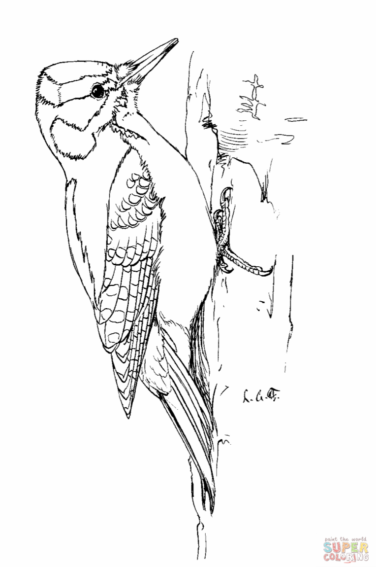 how to draw a woodpecker learn how to draw a hairy woodpecker woodpeckers step by woodpecker draw how to a