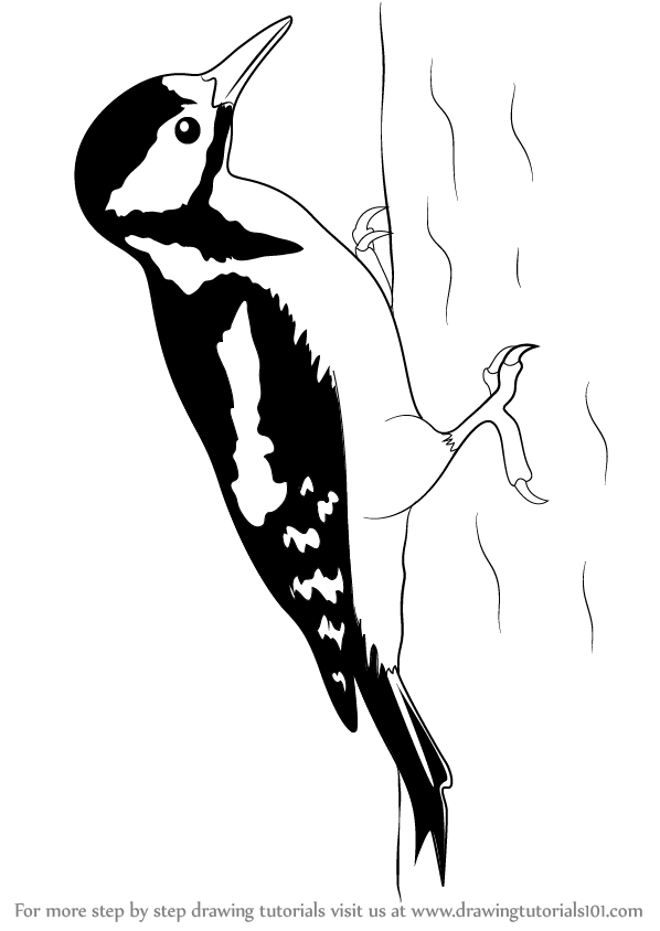 how to draw a woodpecker learn how to draw an imperial woodpecker woodpeckers a how draw woodpecker to