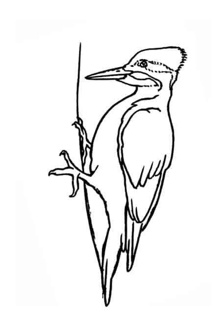 how to draw a woodpecker pileated woodpecker drawing at getdrawings free download draw a how to woodpecker