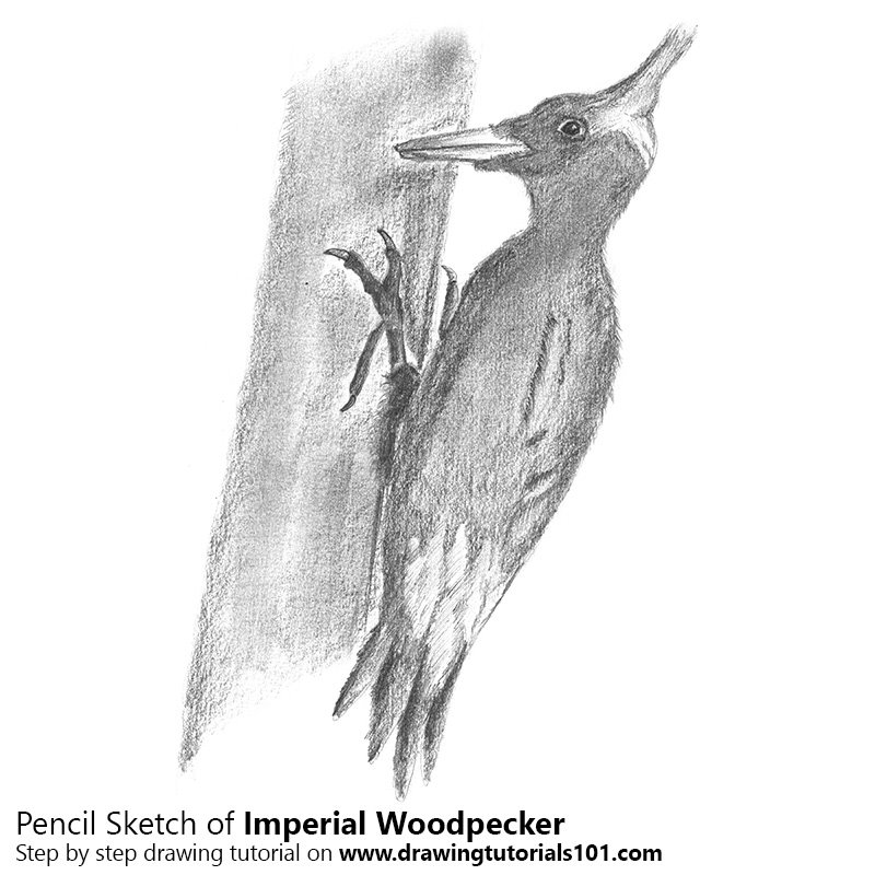 how to draw a woodpecker tpwdthe woodpeckers of the eastern texas pineywoods how draw to a woodpecker