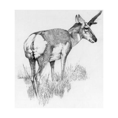 how to draw antelope antelope coloring page print color fun to how draw antelope