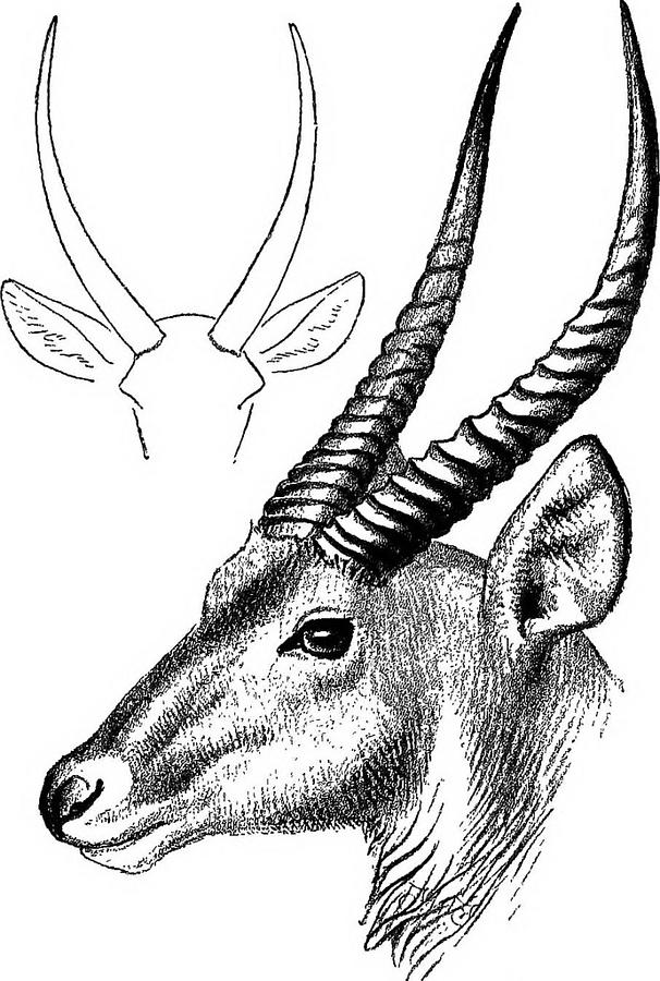 how to draw antelope impala antelope coloring page free printable coloring pages how antelope to draw