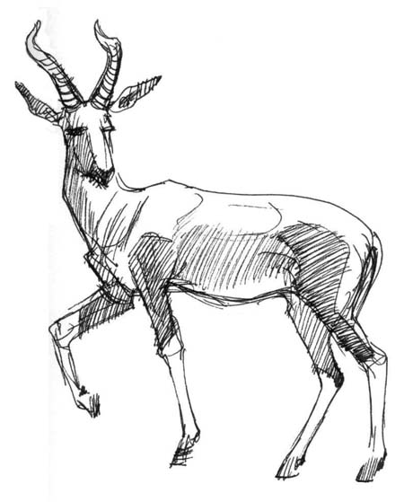 how to draw antelope pencil drawing wyoming pronghorn antelope print by ralph n draw how to antelope