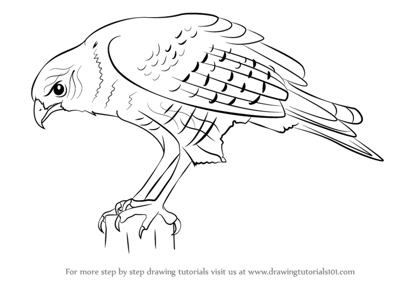 how to draw birds of prey animal and the partner falconry falconry falconry prey of birds to draw how