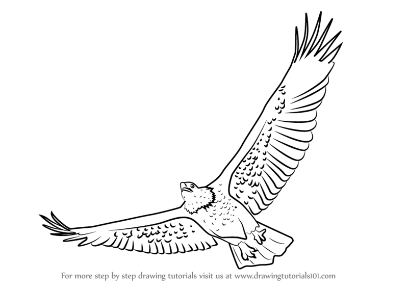 How to draw birds of prey