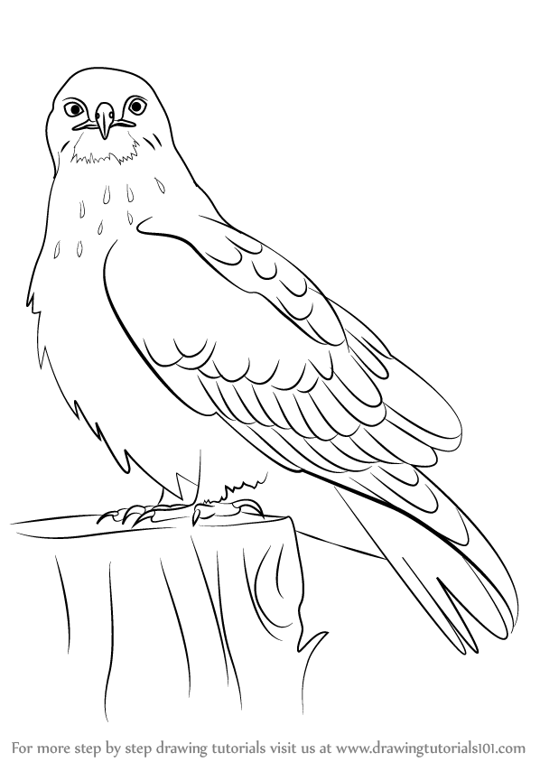 how to draw birds of prey drawing realistic birds step by step draw a bird prey to birds how of draw