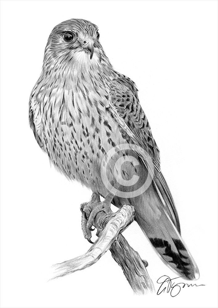 how to draw birds of prey how to draw birds of prey of how birds to prey draw