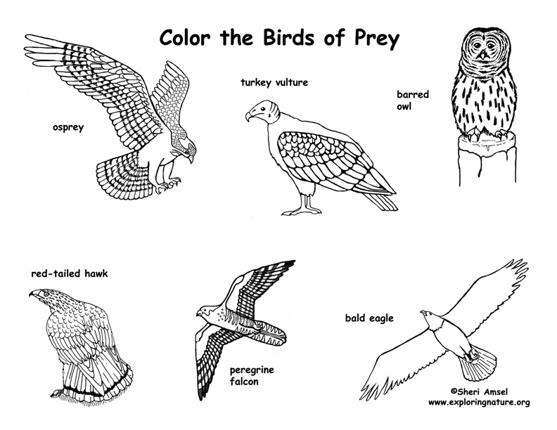 how to draw birds of prey learn how to draw a hawk bird of prey step by step birds of draw prey how to