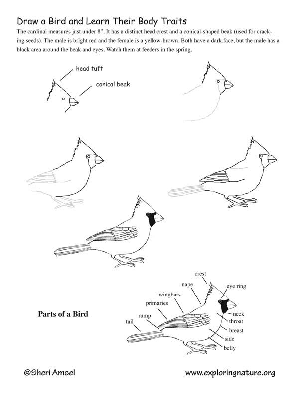 how to draw birds of prey learn how to draw a merlin bird of prey step by step to prey how draw birds of