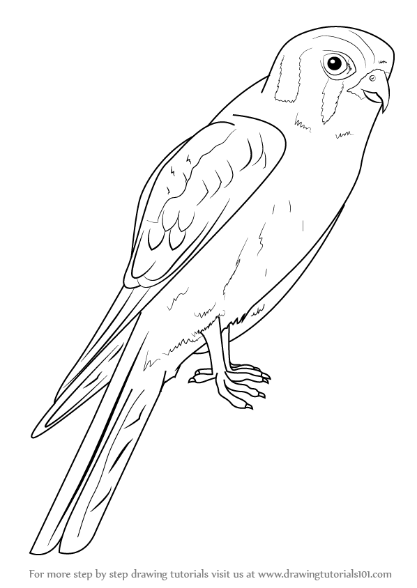 how to draw birds of prey learn how to draw bald eagle head bird of prey step by birds to prey of how draw