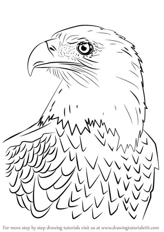 how to draw birds of prey red tailed hawk facts birds of prey hawk facts red draw of how birds prey to