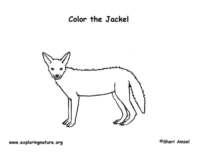 how to draw jackal cute side striped jackal coloring page free printable jackal how to draw
