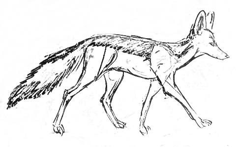 how to draw jackal how to draw a jackal video step by step pictures jackal to how draw