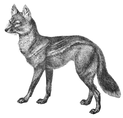 how to draw jackal jackal clip art download clip art library to jackal how draw