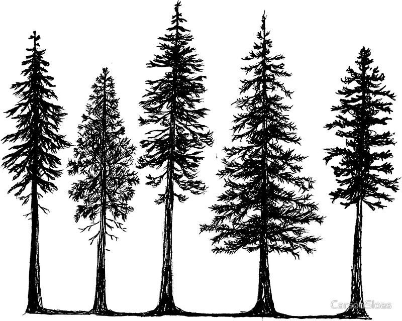 how to draw pine trees drawspacecom squirkle a realistic spruce tree tree pine how draw trees to