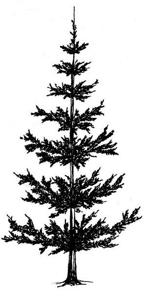 how to draw pine trees easy tree drawings trees to draw pine how