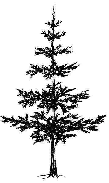how to draw pine trees how to draw pine trees draw to pine trees how