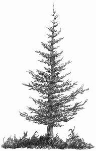 how to draw pine trees image result for pine sketches pine tree drawing tree trees draw pine to how