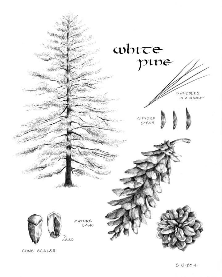 how to draw pine trees pine tree drawings clipart best draw how trees pine to