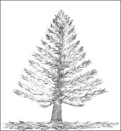 how to draw pine trees pine tree line drawing at getdrawings free download pine draw trees to how