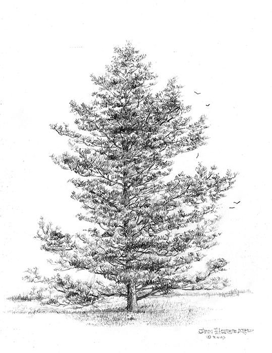 how to draw pine trees pine trees doodle trees illustration keepitsimple how pine trees to draw