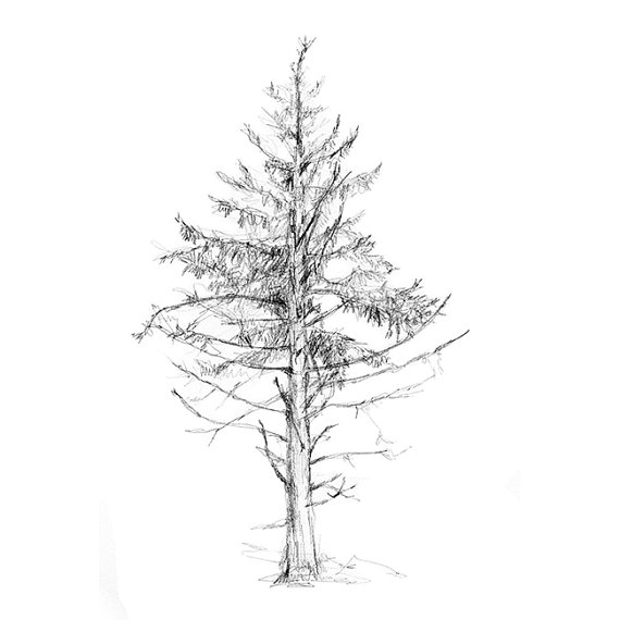 how to draw pine trees simple pine tree drawing at paintingvalleycom explore to how trees pine draw