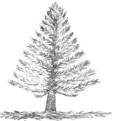 how to draw pine trees step by step pine tree drawing at getdrawings free download pine draw how step step by to trees
