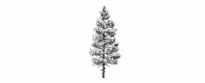 how to draw pine trees step by step pine trees in pencil drawing at getdrawings free download by step pine how trees step draw to
