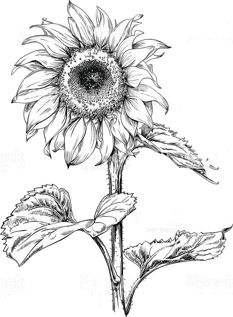 how to draw sunflower 2020 的 how to draw a sunflower easy step by step drawing to draw sunflower how