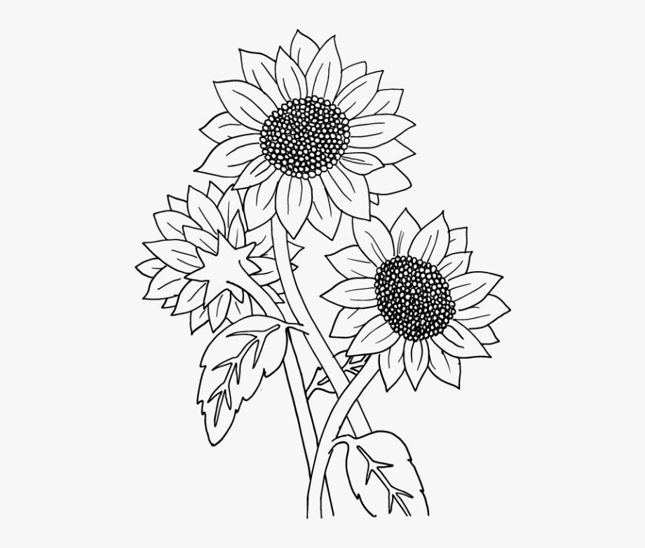 how to draw sunflower sunflower drawing simple at getdrawings free download draw how sunflower to