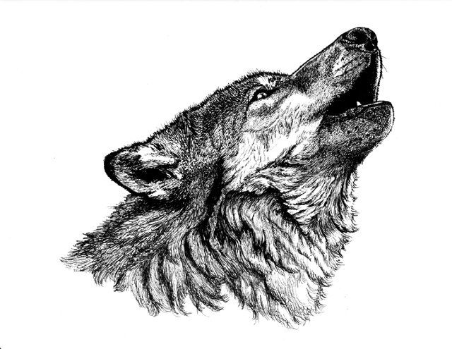 howling wolf drawing singing to the moon wildlife drawing howling wolf