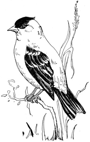 iowa state bird idaho state bird coloring page free printable coloring pages state bird iowa