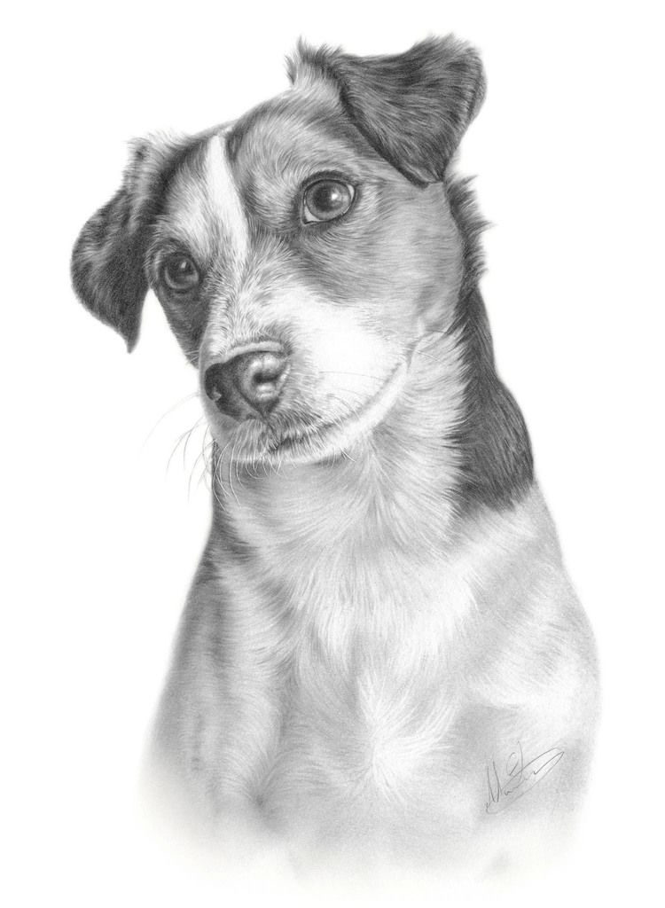 jack russell drawings commission jack russell terrier by captured in pencil on jack drawings russell