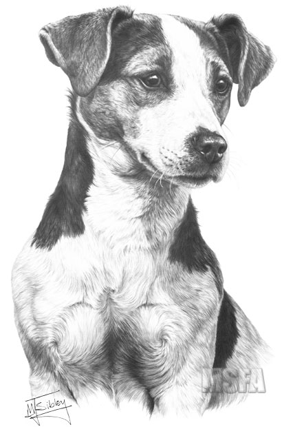 jack russell drawings items similar to jack russel terrier graphite drawing russell jack drawings