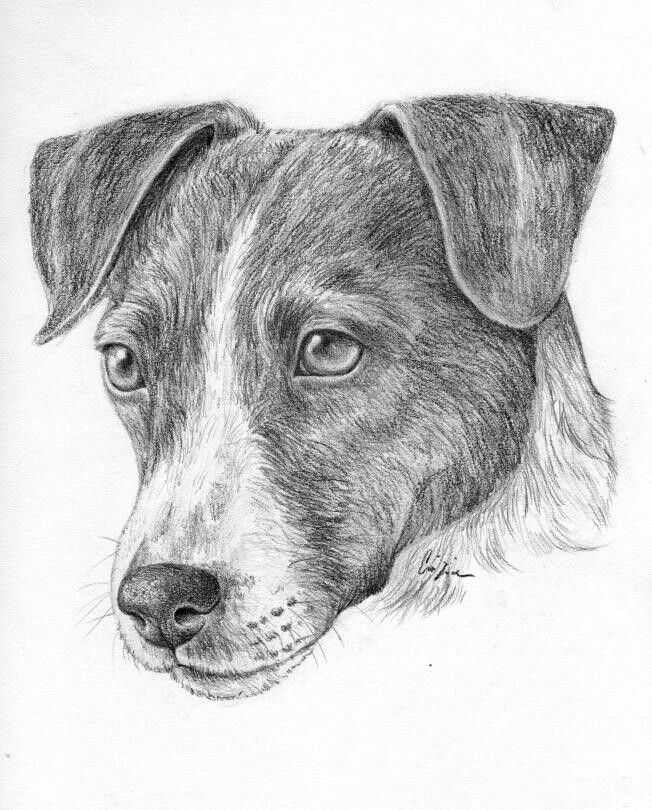 jack russell drawings pin by marina vedernikova on pencil drawings jack jack drawings russell