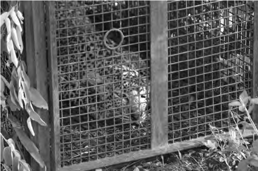 lion trapped in a net 4 an african leopard trapped in a steel cage trap care in net lion trapped a