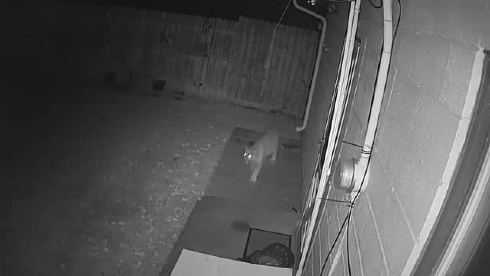 lion trapped in a net mountain lion caught on security camera at gordon a net in trapped lion
